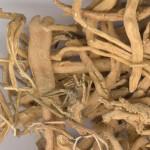 polygala root