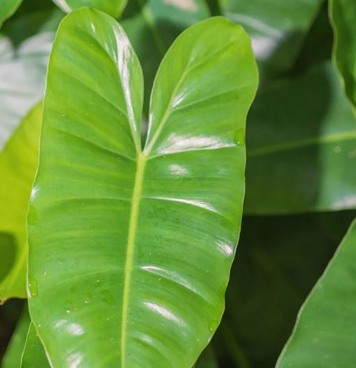 Elephant Ear Philodendron,