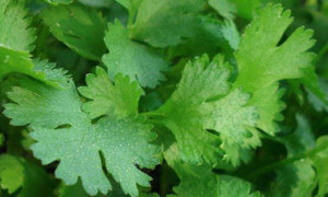 coriander-cilantro.jpg